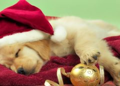 Holiday Safety Approaches for Your Pets