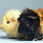 Taking proper proper care of Guinea Pigs – The Fundamental Understanding Needed To Consider Proper Care Of Your Brand-new Pet